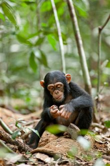 Chimpanzee Photo 24 - Large