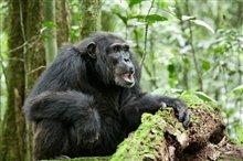 Chimpanzee Photo 8