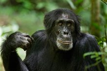 Chimpanzee Photo 10