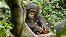 Chimpanzee Photo 14