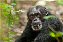 Chimpanzee Photo 16