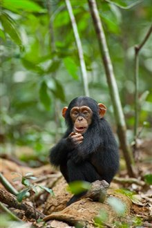 Chimpanzee Photo 26 - Large