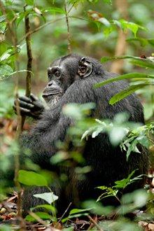 Chimpanzee Photo 28 - Large