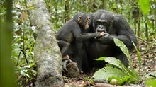 Chimpanzee Photo 18