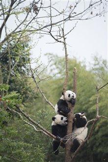 Pandas Photo 18