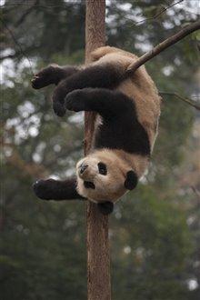 Pandas Photo 20