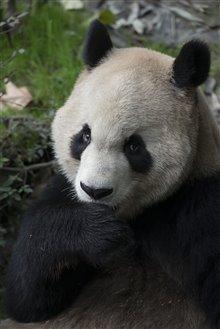 Pandas Photo 28