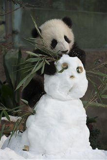 Pandas Photo 29