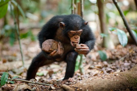 Chimpanzee Photo 4 - Large