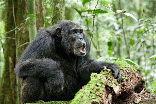 Chimpanzee Photo 8 - Large