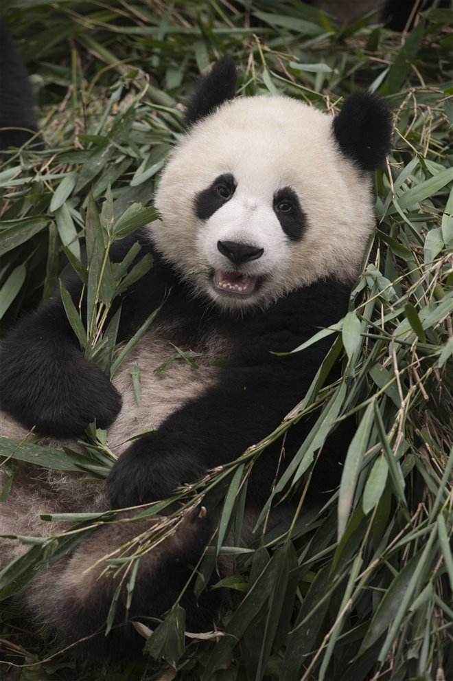 Pandas Photo 16 - Large