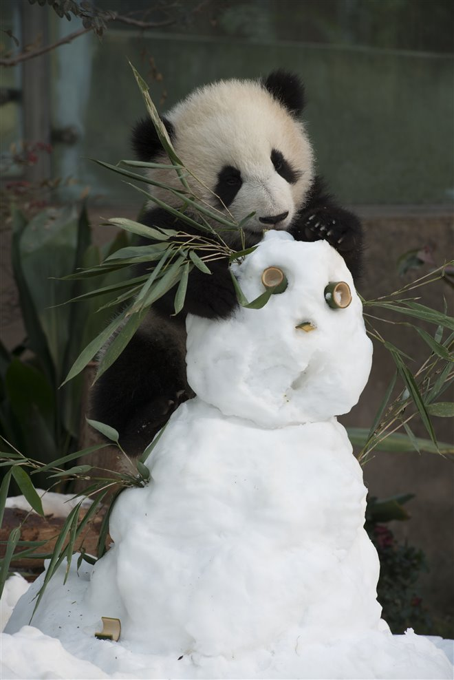 Pandas Photo 29 - Large