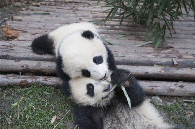 Pandas Photo 13 - Large